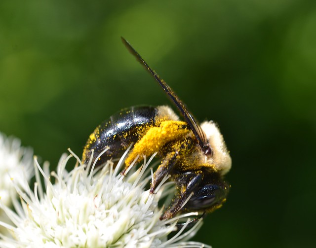 bumble bee with pollen on legs and head July 30, 2011 11x14 bpx