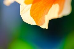 Orange Hibiscus Glow-1. By Thomas Tolkien