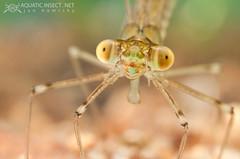 Spread-winged damselfly nymphs (Lestidae)