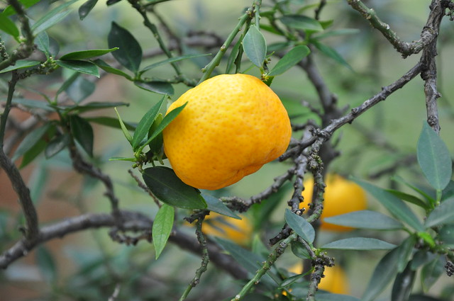 Photo for Citrus myrtifolia