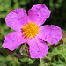 Rock Rose, Cistus creticus (Paul Harmes)