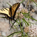 Two-tailed Swallowtail - Photo (c) Franco Folini, some rights reserved (CC BY-SA)