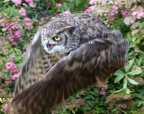 Great Horned Owl 2a | by ahisgett