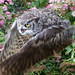 Great Horned Owl 2a