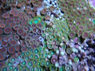 004 Sweet Zoanthids (Colony Rocks)