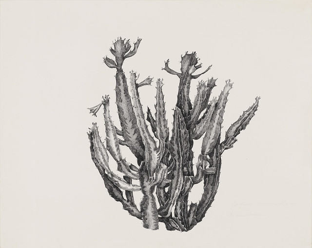 Francesca Anderson, Euphorbia trigona, circa 1995. Cactus collection in greenhouse. Pen and ink on Strathmore 500 series Bristol hot press.