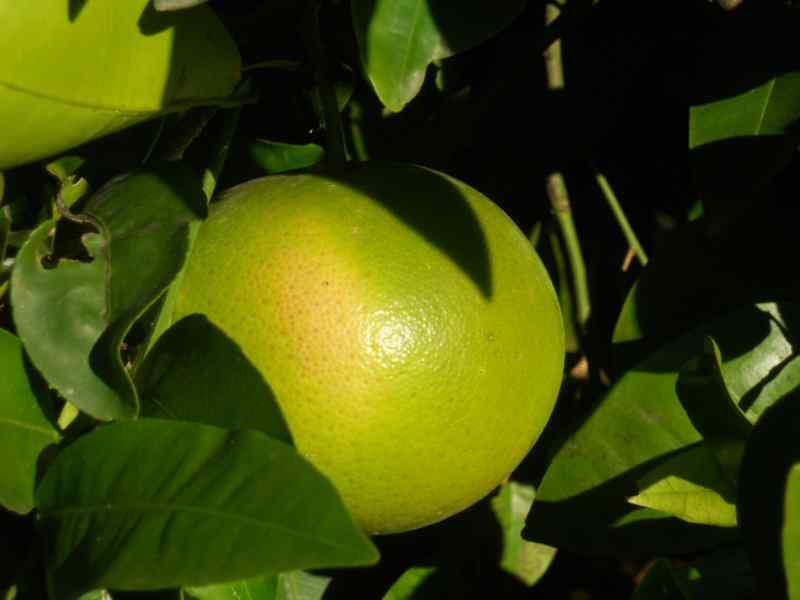 Citrus x paradisi 'Rio Red' 1