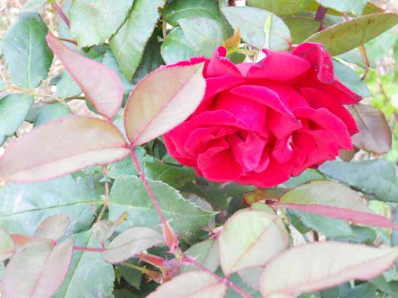 Rosa grandiflora 'Mister Lincoln' 2
