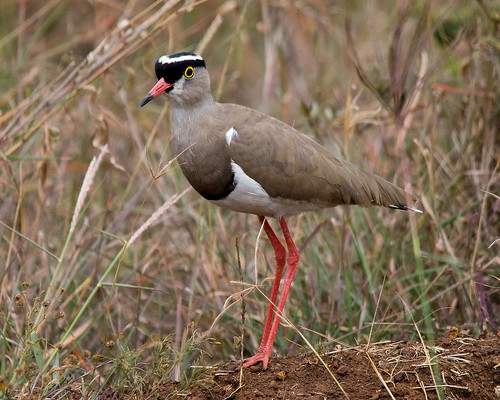 Wild Birds of East Africa. (Please read the rules ...