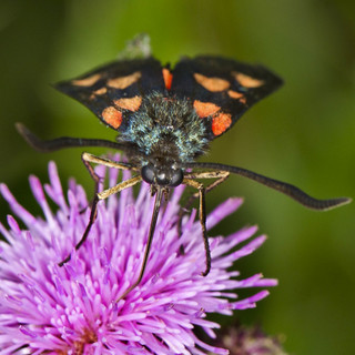 Burnet Moth (Narrow bordered 5 Spot)