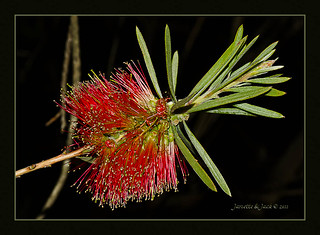Bottlebrush - Callistemon