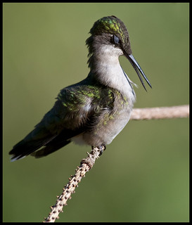 Female ruby-throated hummingbird 11 [Explored]