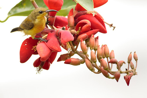 Sunbird at Work