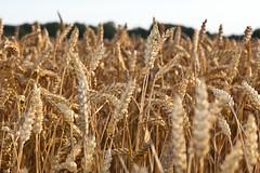 plant(0.0), food(0.0), emmer(1.0), agriculture(1.0), triticale(1.0), einkorn wheat(1.0), rye(1.0), food grain(1.0), field(1.0), wheat(1.0), crop(1.0),