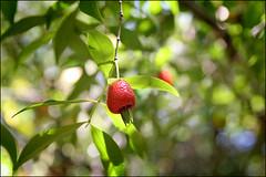 Rio Grande Cherry