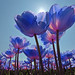 Colorful blue tulips