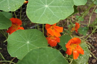 Edible Flowers, Nasturtiums