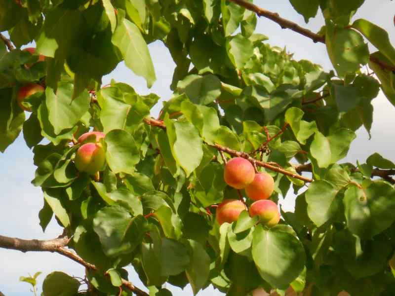 Prunus armeniaca 'Moniqui' 3