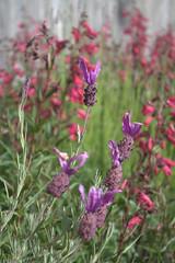 hyssopus(0.0), english lavender(0.0), annual plant(1.0), flower(1.0), plant(1.0), lavandula stoechas(1.0), lavender(1.0), herb(1.0), wildflower(1.0), flora(1.0), meadow(1.0),
