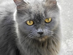 domestic long-haired cat, nose, animal, british semi-longhair, small to medium-sized cats, pet, fauna, chartreux, close-up, cat, wild cat, carnivoran, whiskers, nebelung, domestic short-haired cat,