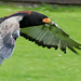 Small photo of Bateleur Eagle 1d