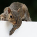 Eastern Gray Squirrel '11