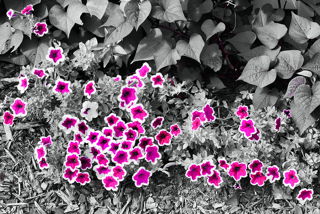 flowers selective coloring color - photo #47