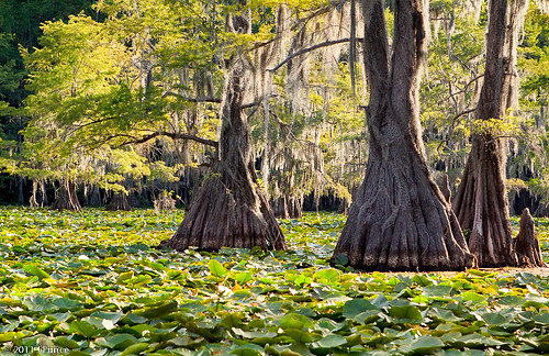 park trees light sun lake fern tree nature water forest river giant landscape evening boat us moss weed louisiana texas lily state native dam tx wildlife south united pad management american swamp area wetlands americans cypress states endangered aquatic caddo rare wetland conservancy salvinia boaters