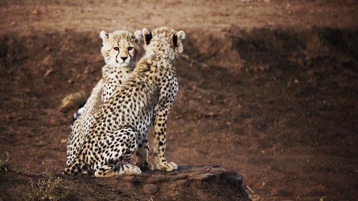 Babe Cheetah @ Serengeti