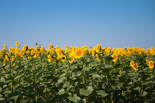 blue summer field yellow landscape sunflower україна поле подсолнух подсолнечник
