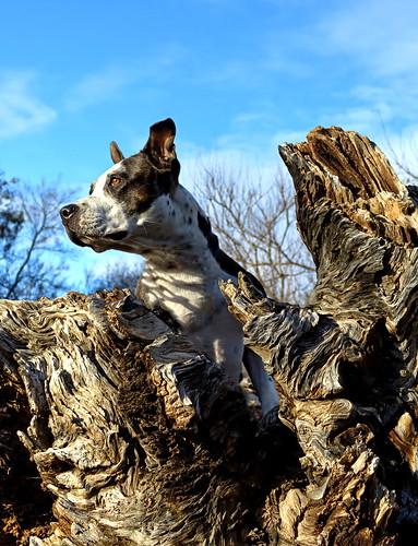 sunset dog pitbull kern cleo hdr bakersfield hartpark kerncounty