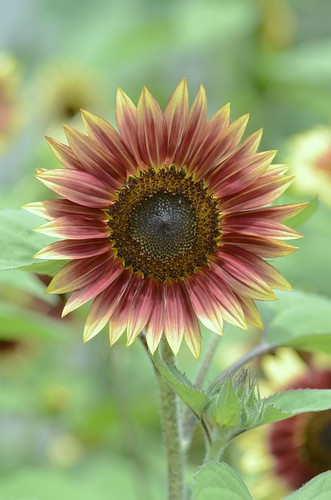 "sunflower, ""ruby eclipse"""