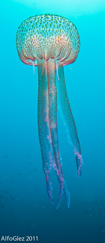 Purple jellyfish (Águilas, Spain) - 166.5KB