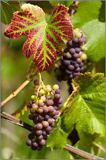 Vine grape