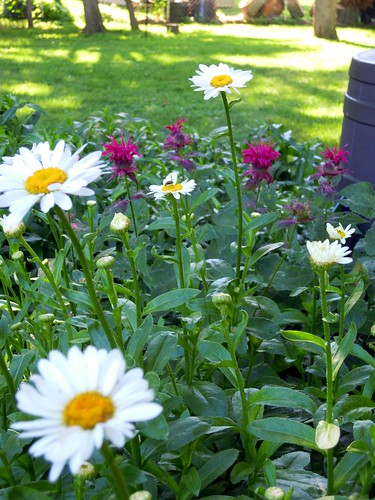 Daisies and Beebalm