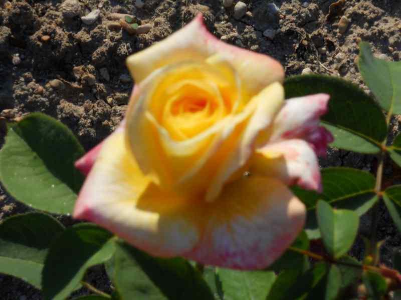 Rosa grandiflora 'Antigone' 3