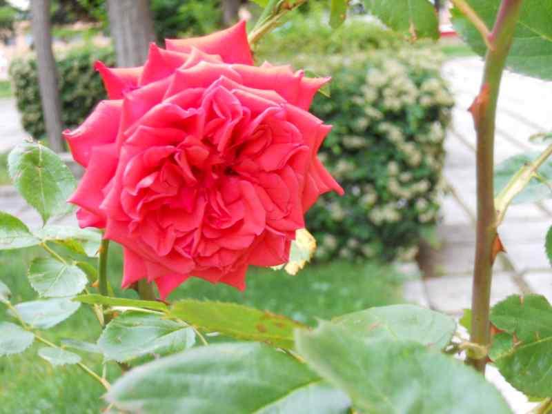 Rosa 'Papa Meilland' 1