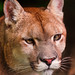 Tight portrait of a puma
