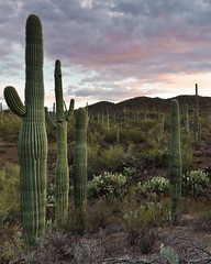 Saguaro National Park, Arizona, at Sunset