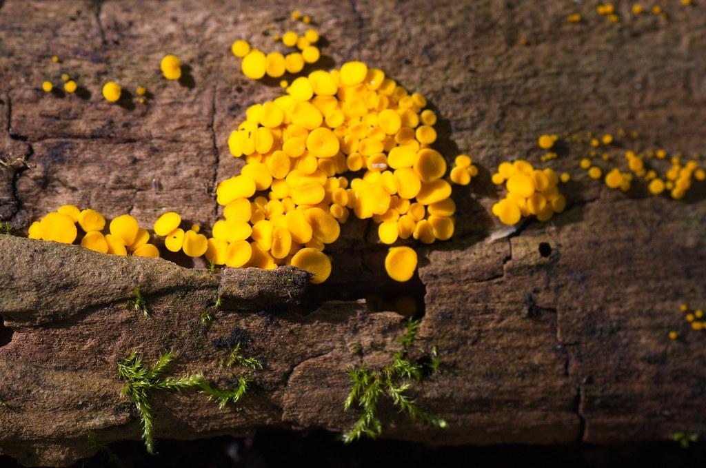 Биспорелла лимонная (Bisporella citrina). Автор фото:Татьяна Бульонкова
