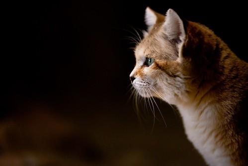 Sand Cat 66