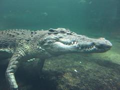 Rex The Crocodile