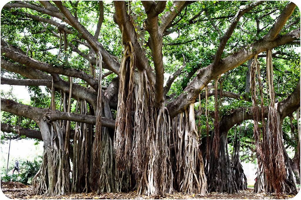 banyan tree on oahu