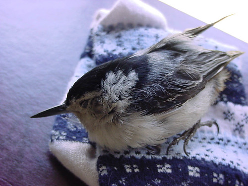 White-breasted Nuthatch fatally wounded by cat
