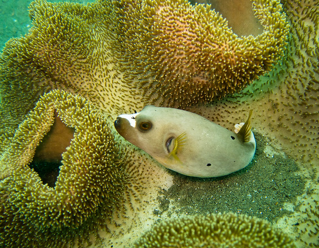 Dog faced puffer fish on coral ambon maluku flickr for Dog face puffer fish