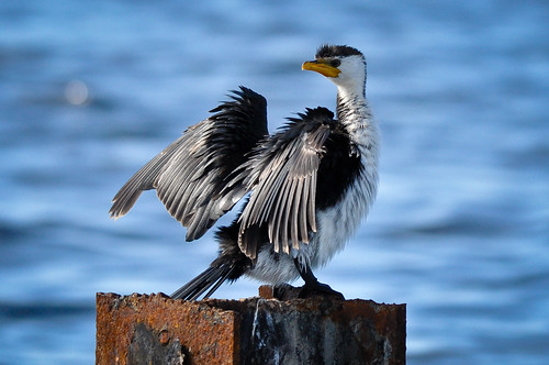 Little Pied Cormorant by salnel