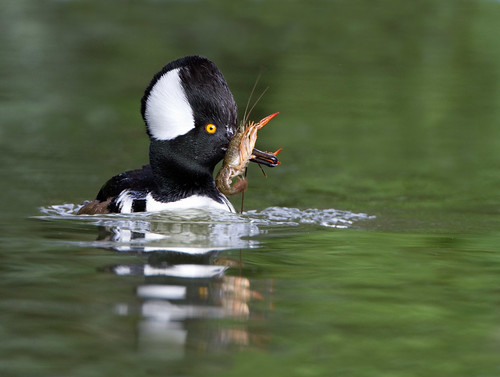 The Diet of the Hooded Merganser