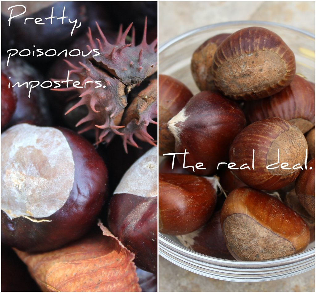 horse chestnuts vs. real chestnuts collage