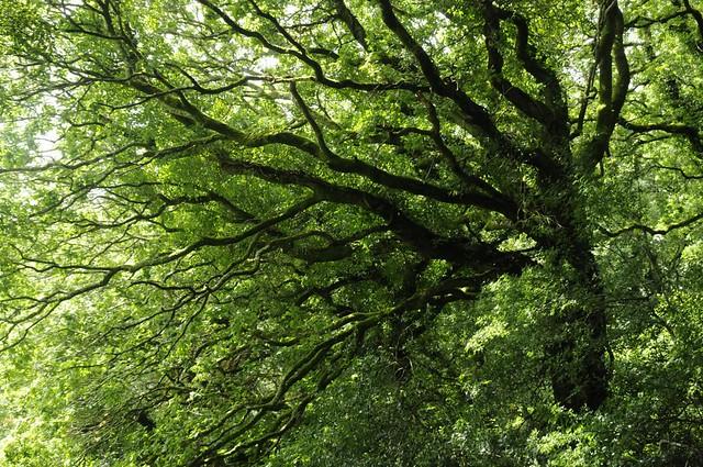 Oak, Eweston Wood, Pembrokeshire