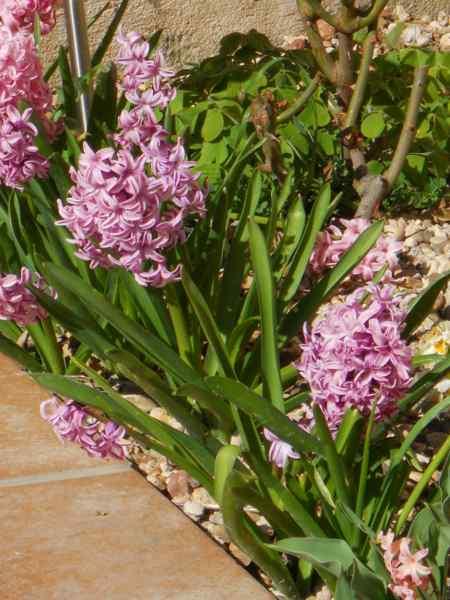 Hyacinthus v 1